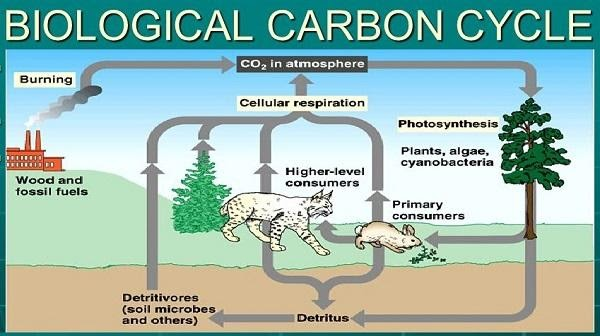 Biological Carbon Cycles