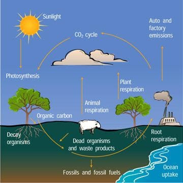 What is Carbon Cycle